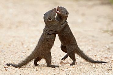 Two dwarf mongoose (Helogale parvula) sparring, Kruger National Park, South Africa, Africa