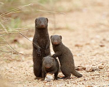 Three dwarf mongoose (Helogale parvula), Kruger National Park, South Africa, Africa