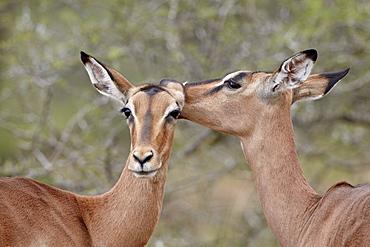 Two impala (Aepyceros melampus) grooming, Imfolozi Game Reserve, South Africa, Africa
