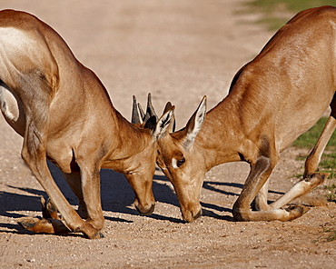 Two young red hartebeest (Alcelaphus buselaphus) sparring, Addo Elephant National Park, South Africa, Africa