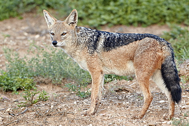 Black-backed jackal (silver-backed jackal) (Canis mesomelas), Addo Elephant National Park, South Africa, Africa