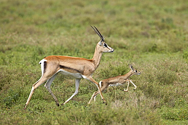 Grant's Gazelle (Gazella granti) mother and baby, Serengeti National Park, Tanzania, East Africa, Africa