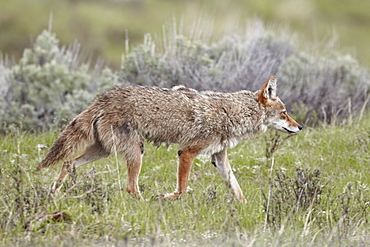 Coyote (Canis latrans), Yellowstone National Park, UNESCO World Heritage Site, Wyoming, United States of America, North America