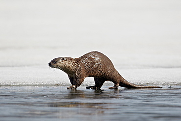 River Otter (Lutra canadensis) on frozen Yellowstone Lake, Yellowstone National Park, Wyoming, United States of America, North America