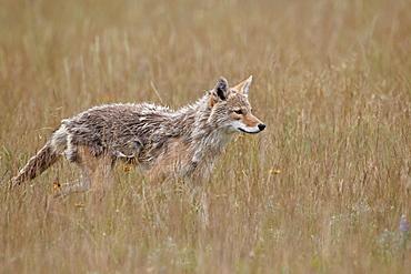 Coyote (Canis latrans), Waterton Lakes National Park, Alberta, Canada, North America