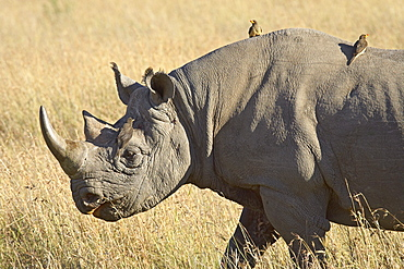 Black rhinoceros or hook-lipped rhinoceros (Diceros bicornis) with yellow-billed oxpecker (Buphagus africanus), Masai Mara National Reserve, Kenya, East Africa, Africa