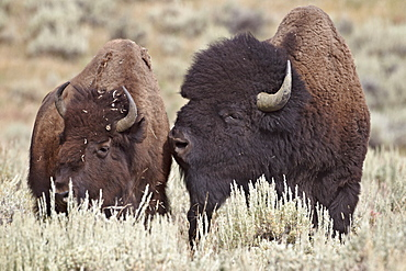 Bison (Bison bison) bull and cow, Yellowstone National Park, Wyoming, United States of America, North America