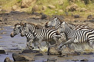Common zebra or Burchell's zebra (Equus burchelli) crossing the Mara River, Masai Mara National Reserve, Kenya, East Africa, Africa