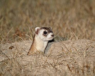 Black-footed ferret (American polecat) (Mustela nigripes), Buffalo Gap National Grassland, Conata Basin, South Dakota, United States of America, North America
