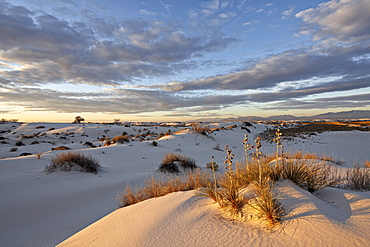 First light on a cluster of yucca among the dunes, White Sands National Monument, New Mexico, United States of America, North America