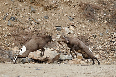 Two bighorn sheep (Ovis canadensis) rams butting heads during the rut, Clear Creek County, Colorado, United States of America, North America