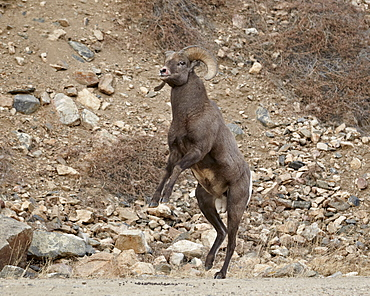 Bighorn sheep (Ovis canadensis) ram about to start a head butt durng the rut, Clear Creek County, Colorado, United States of America, North America