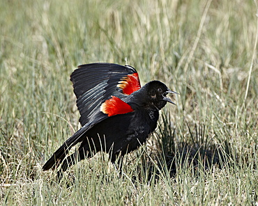 Male red-winged blackbird (Agelaius phoeniceus) displaying, Pawnee National Grassland, Colorado, United States of America, North America