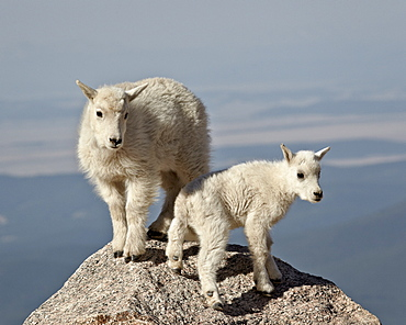 Mountain goat (Oreamnos americanus) kids, Mount Evans, Arapaho-Roosevelt National Forest, Colorado, United States of America, North America