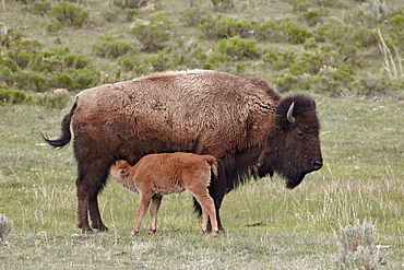 Bison (Bison bison) cow nursing her calf, Yellowstone National Park, Wyoming, United States of America, North America