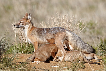 Swift fox (Vulpes velox) vixen nursing her four kits at their den, Pawnee National Grassland, Colorado, United States of America, North America