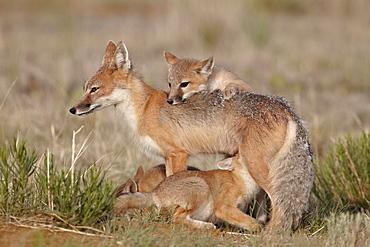 Swift fox (Vulpes velox) vixen nursing three kits, Pawnee National Grassland, Colorado, United States of America, North America