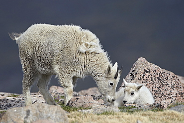 Mountain goat (Oreamnos americanus) juvenile and kid, Mount Evans, Arapaho-Roosevelt National Forest, Colorado, United States of America, North America