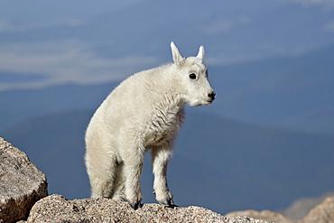 Mountain goat (Oreamnos americanus) kid, Mount Evans, Arapaho-Roosevelt National Forest, Colorado, United States of America, North America