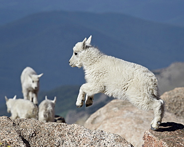 Mountain goat (Oreamnos americanus) kid jumping, Mount Evans, Arapaho-Roosevelt National Forest, Colorado, United States of America, North America