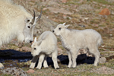 Mountain goat (Oreamnos americanus) nanny and kids, Mount Evans, Arapaho-Roosevelt National Forest, Colorado, United States of America, North America