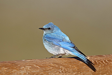Male mountain bluebird (Sialia currucoides), Mount Evans, Arapaho-Roosevelt National Forest, Colorado, United States of America, North America