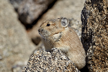 American pika (Ochotona princeps), Mount Evans, Arapaho-Roosevelt National Forest, Colorado, United States of America, North America