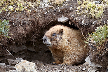 Yellow-bellied marmot (yellowbelly marmot) (Marmota flaviventris) at a burrow entrance, San Juan National Forest, Colorado, United States of America, North America