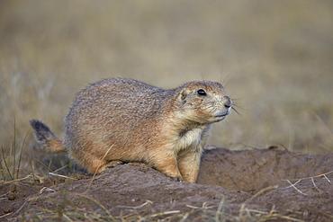 Black-tailed prairie dog (blacktail prairie dog) (Cynomys ludovicianus), Custer State Park, South Dakota, United States of America, North America