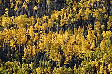 Yellow and orange aspens among evergreens in the fall, Uncompahgre National Forest, Colorado, United States of America, North America