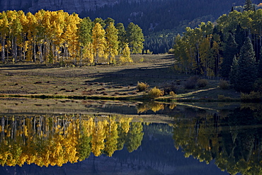 Yellow aspens among evergreens in the fall reflected in a lake, Uncompahgre National Forest, Colorado, United States of America, North America