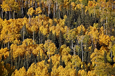 Yellow aspens among evergreens in the fall, Uncompahgre National Forest, Colorado, United States of America, North America
