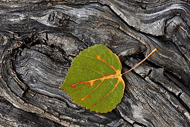 Aspen leaf turning red, orange, and yellow, Uncompahgre National Forest, Colorado, United States of America, North America