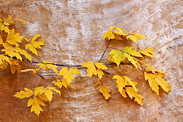 Box elder (boxelder maple) (maple ash) (Acer negundo) branch with yellow leaves in the fall, Capitol Reef National Park, Utah, United States of America, North America