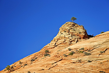 Tree atop a sandstone hill, Zion National Park, Utah, United States of America, North America