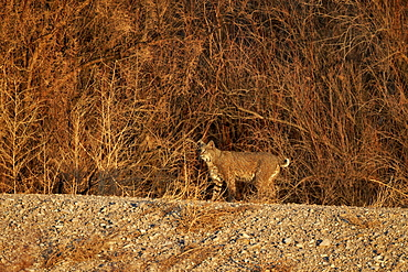 Bobcat (Lynx rufus), Bosque del Apache National Wildlife Refuge, New Mexico, United States of America, North America