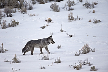 Gray wolf (Canis lupus) 755M of the Lamar Canyon Pack running through the snow in the winter, Yellowstone National Park, Wyoming, United States of America, North America