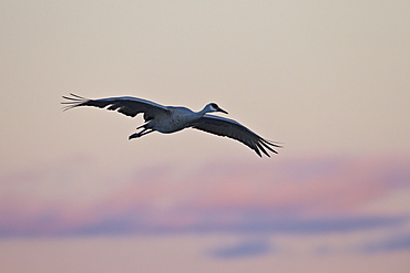 Sandhill crane (Grus canadensis) landing with pink clouds, Bosque del Apache National Wildlife Refuge, New Mexico, United States of America, North America