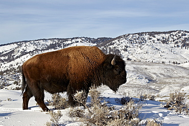Bison (Bison bison) bull in the winter, Yellowstone National Park, UNESCO World Heritage Site, Wyoming, United States of America, North America