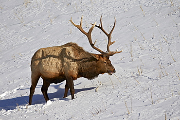 Bull elk (Cervus canadensis) feeding in the winter, Yellowstone National Park, Wyoming, United States of America, North America