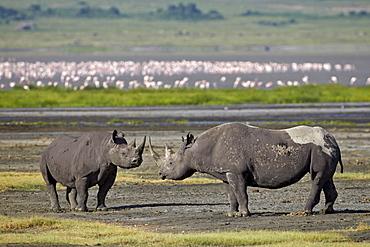 Two black rhinoceros (hook-lipped rhinoceros) (Diceros bicornis), Ngorongoro Crater, UNESCO World Heritage Site, Tanzania, East Africa, Africa