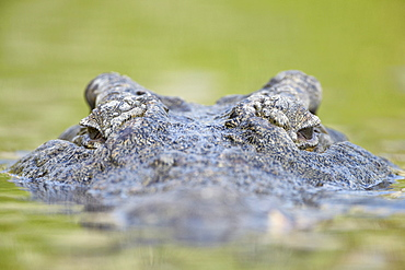 Nile crocodile (Crocodylus niloticus) in the water, Kruger National Park, South Africa, Africa