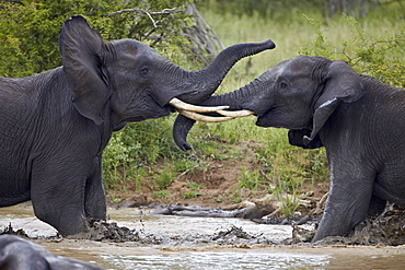 Two teenaged male African elephant (Loxodonta africana) playing, Kruger National Park, South Africa, Africa