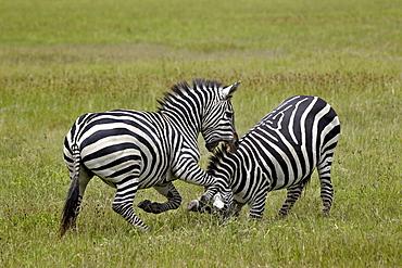 Two Common zebra (plains zebra) (Burchell's zebra) (Equus burchelli) fighting, Ngorongoro Crater, Tanzania, East Africa, Africa