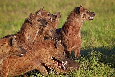 Spotted Hyena or Spotted Hyaena (Crocuta crocuta) at a Cape Buffalo kill, Ngorongoro Crater, Tanzania
