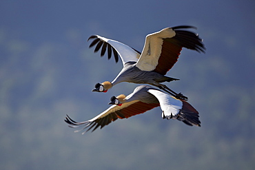 Grey crowned crane (Southern crowned crane) (Balearica regulorum) pair in flight, Ngorongoro Crater, Tanzania, East Africa, Africa