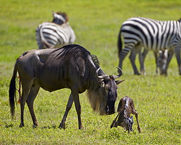 Blue wildebeest (brindled gnu) (Connochaetes taurinus) just-born calf trying to stand, Ngorongoro Crater, Tanzania, East Africa, Africa