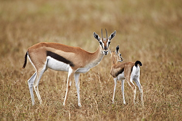 Thomson's gazelle (Gazella thomsonii) mother and young, Ngorongoro Crater, Tanzania, East Africa, Africa
