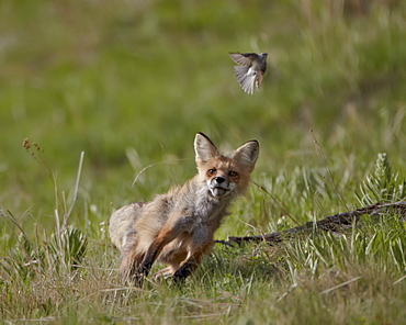 Red fox (Vulpes vulpes) (Vulpes fulva) vixen hunting a bird, Yellowstone National Park, Wyoming, United States of America, North America