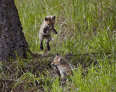 Red fox (Vulpes vulpes) (Vulpes fulva) kit pouncing on its sibling, Yellowstone National Park, Wyoming, United States of America, North America